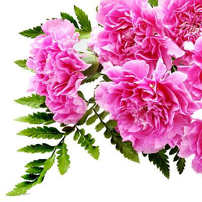 Гвоздика - Квіти символи - Про Україну