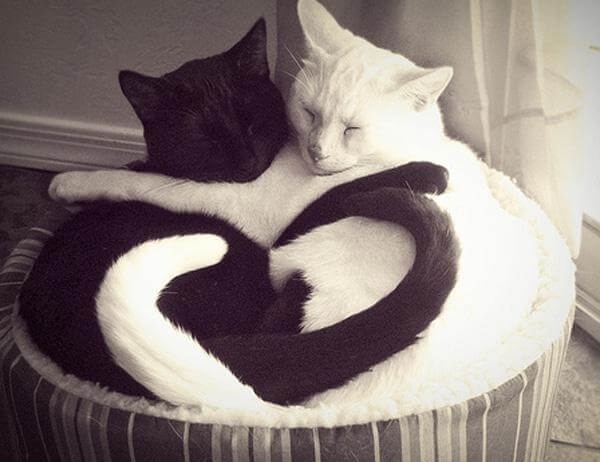 білий і чорний кіт