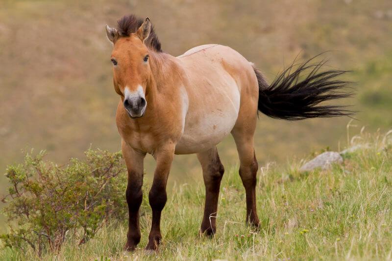Монгольський дикий кінь