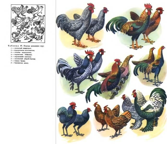 Породи домашніх кур