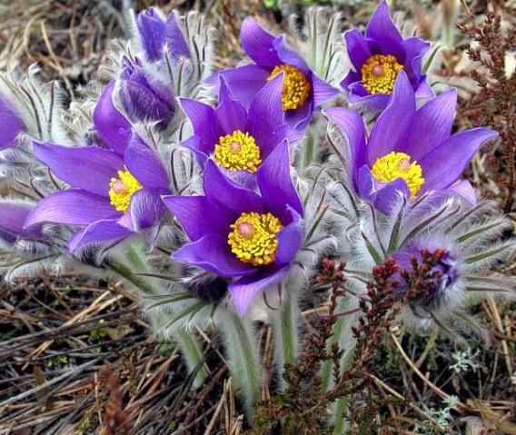 Квітка первоцвіт
