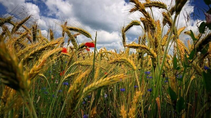 Феодосії-колосниці свято 11 червня