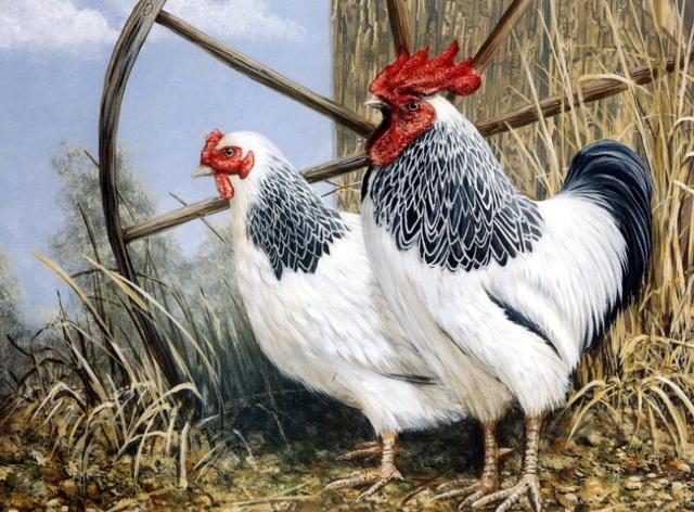 Біологічні особливості свійської курки